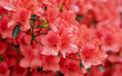 Can you plant an Indoor Azalea Outside?