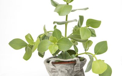 Caring for your Indoor Rubber Plant