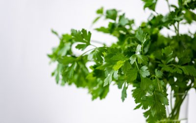 How to care for a Cilantro Plant